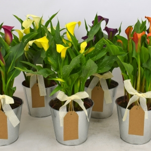 Calla collecties